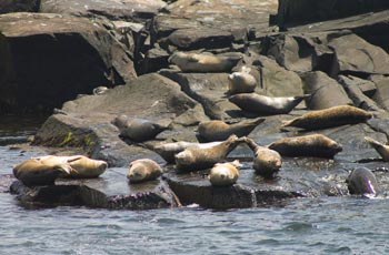 Maine harbor seals